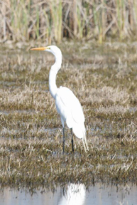 Egret on the Delta